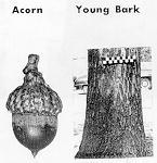 acorn and bark
